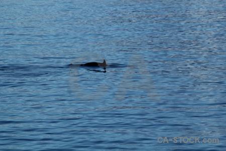 Adelaide island antarctic peninsula water animal orca.