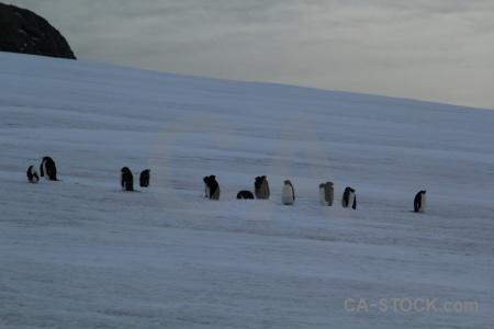 Adelie bellingshausen sea antarctica ice animal.