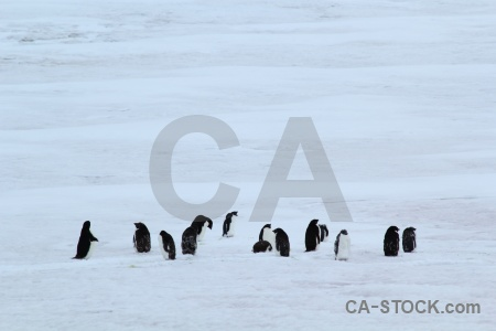 Adelie penguin day 5 antarctica marguerite bay.