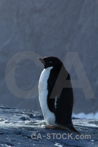 Adelie south pole penguin wilhelm archipelago animal.