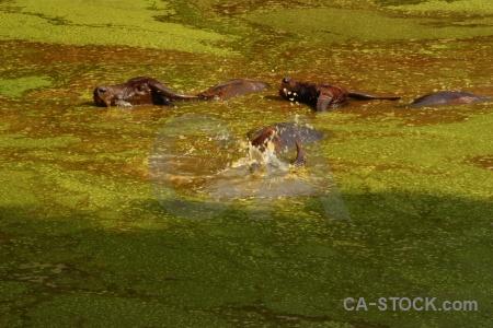 Algae water buffalo thailand wat pa luang ta bua yansampanno asia.