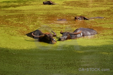 Algal bloom animal wat pha luang ta bua buffalo pa yansampanno.