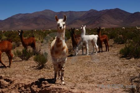 Altitude andes sky bush llama.