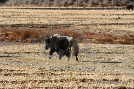 Altitude horn asia yak tibet.