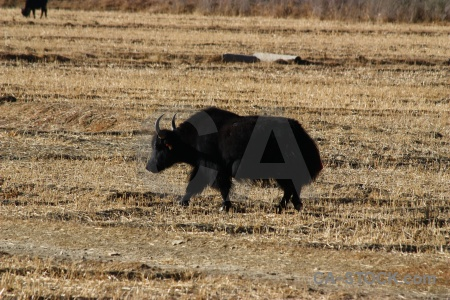 Altitude horn yak asia plateau.