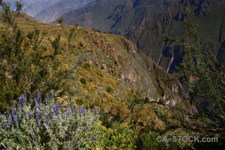 Altitude peru andes plant south america.