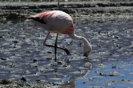 Altitude south america bolivia flamingo bird.