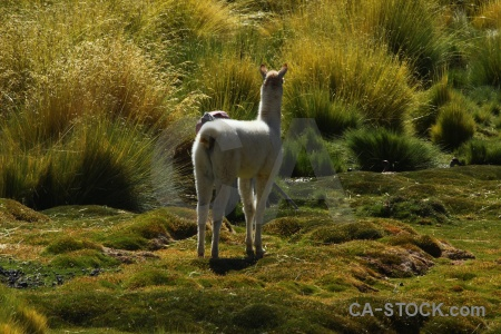 Altitude south america grass animal atacama desert.