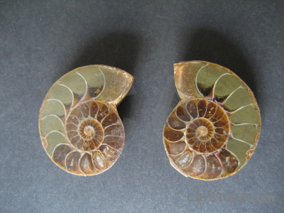 Ammonite object shell fossil.