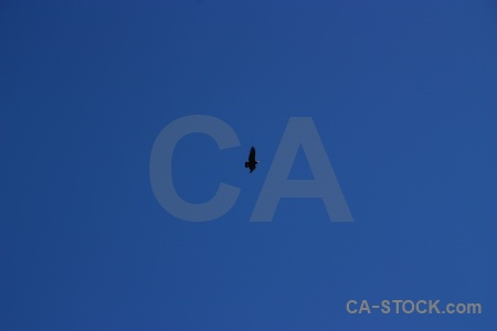 Andean condor peru south america colca valley sky.
