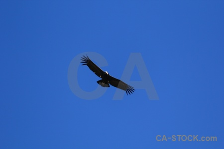 Andean condor sky south america altitude colca valley.