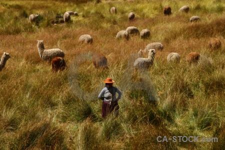 Andean explorer alpaca person altitude south america.