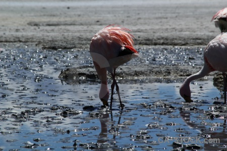 Andes altitude animal flamingo water.