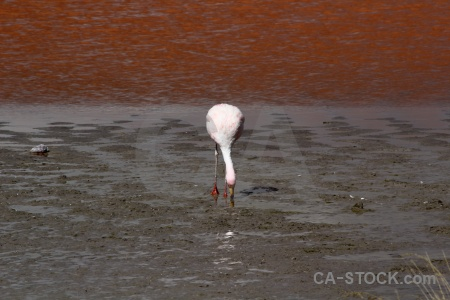 Andes altitude laguna colorada lake flamingo.