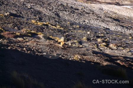 Andes atacama desert fox chile el tatio.