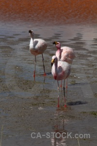 Andes bird bolivia laguna colorada south america.