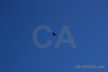 Andes bird condor andean altitude.