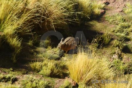 Andes chinchilla chile south america atacama desert.