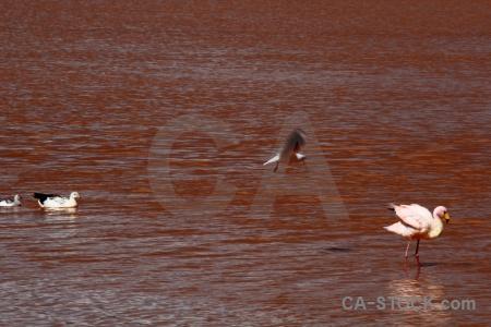 Andes flamingo water laguna colorada altitude.