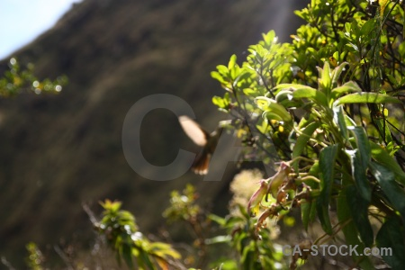 Andes hummingbird animal inca peru.