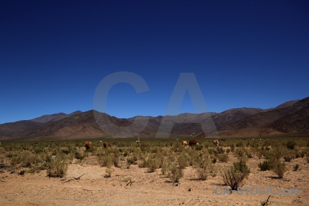 Andes salta tour argentina mountain animal.