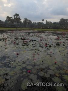 Angkor wat grass water lily asia siem reap.