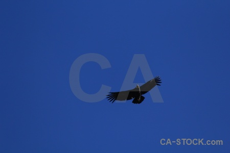 Animal andes condor sky colca canyon.