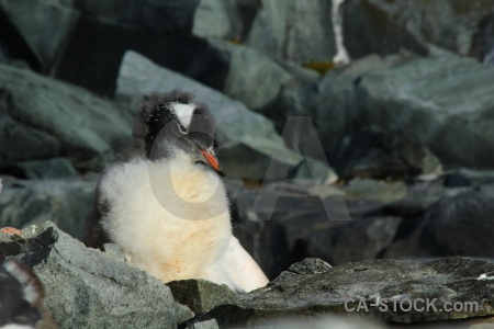 Animal antarctic peninsula petermann island south pole chick.