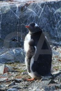 Animal antarctic peninsula rock chick day 8.