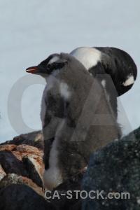 Animal antarctic peninsula south pole wilhelm archipelago petermann island.