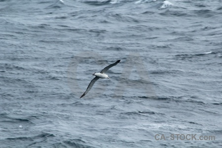 Animal antarctica cruise albatross water sea.