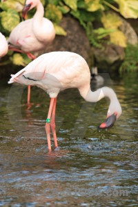 Animal aquatic flamingo bird pond.