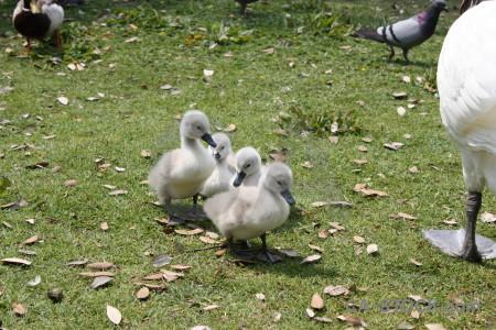 Animal aquatic swan bird chick.