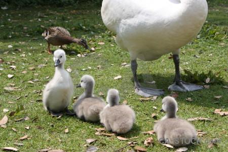 Animal bird chick aquatic swan.