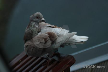 Animal bird dove pigeon.