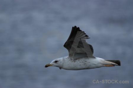 Animal bird flying seagull.