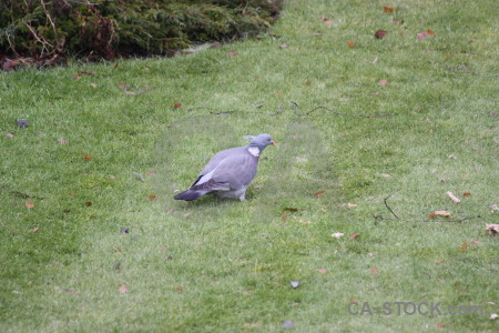 Animal bird grass dove pigeon.