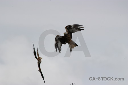 Animal bird gray sky flying.