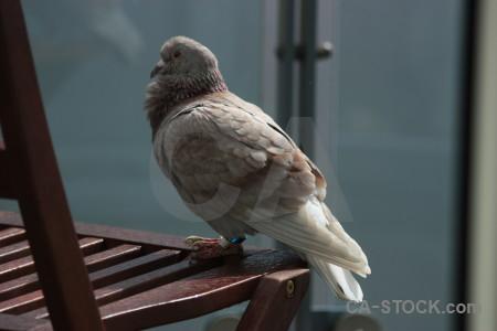 Animal bird pigeon dove.