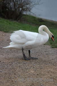 Animal bird pond swan water.