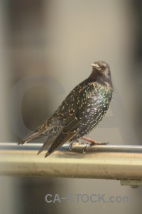 Animal bird starling.