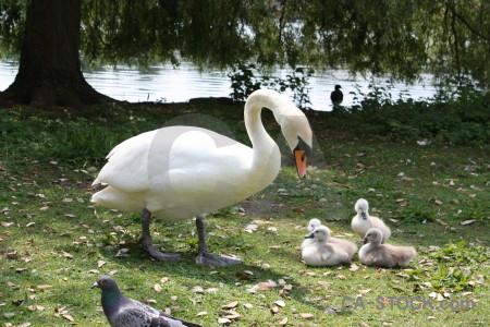 Animal bird swan aquatic chick.