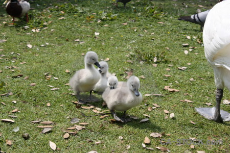 Animal bird swan chick aquatic.