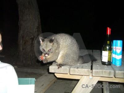 Animal black possum.