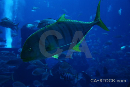 Animal blue fish.