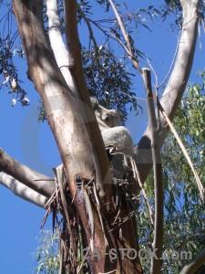 Animal blue koala.