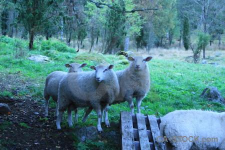 Animal blue sheep green cyan.
