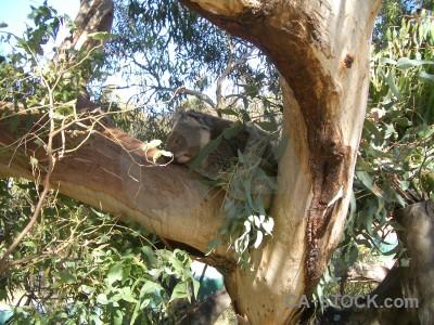 Animal brown green koala.