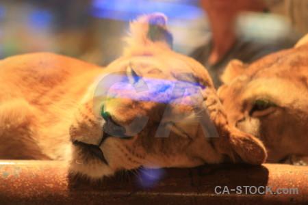 Animal cat lion brown orange.