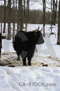 Animal cattle white.